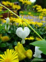 White Bleeding-heart - Coeur de Marie - Dicentra s