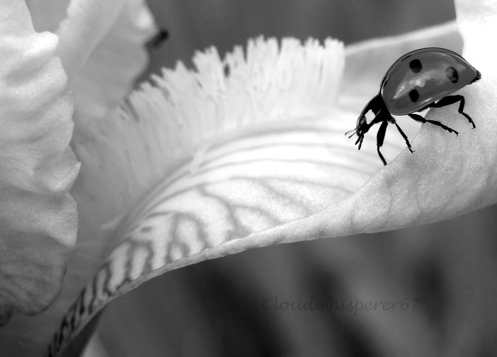 Ladybug Going Downtown (B and W) by Cloudwhisperer67