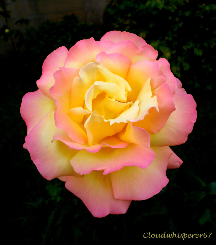 Like a Delicate Sunset: Dive Into the Dawn Rose by Cloudwhisperer67
