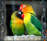 Eye Ring and Masked Lovebirds Agapornis Personatus