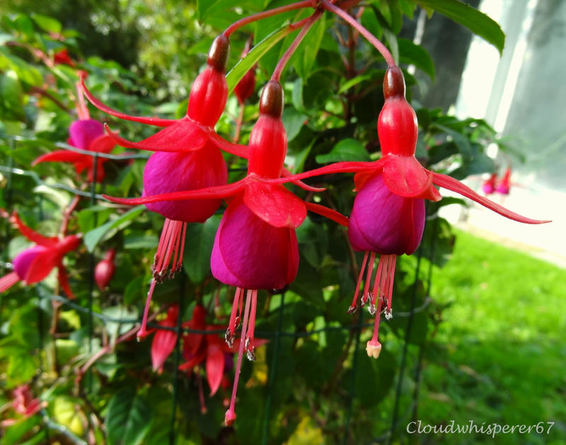 The 3 fuchsia prima ballerinas by Cloudwhisperer67
