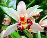 The incredible flower (cymbidium orchid)