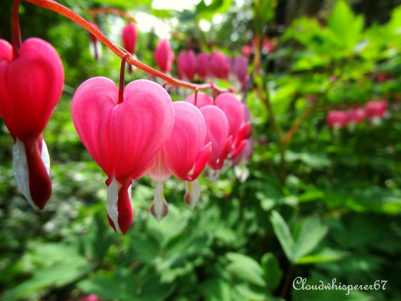 Pink Bleeding-heart - Coeur de Marie - Dicentra by Cloudwhisperer67