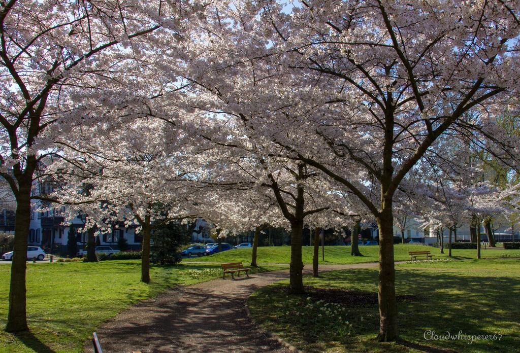 Under the Cherry Blossoms (sakura) by Cloudwhisperer67