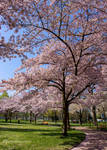 Cherry Trees are always on time by Cloudwhisperer67