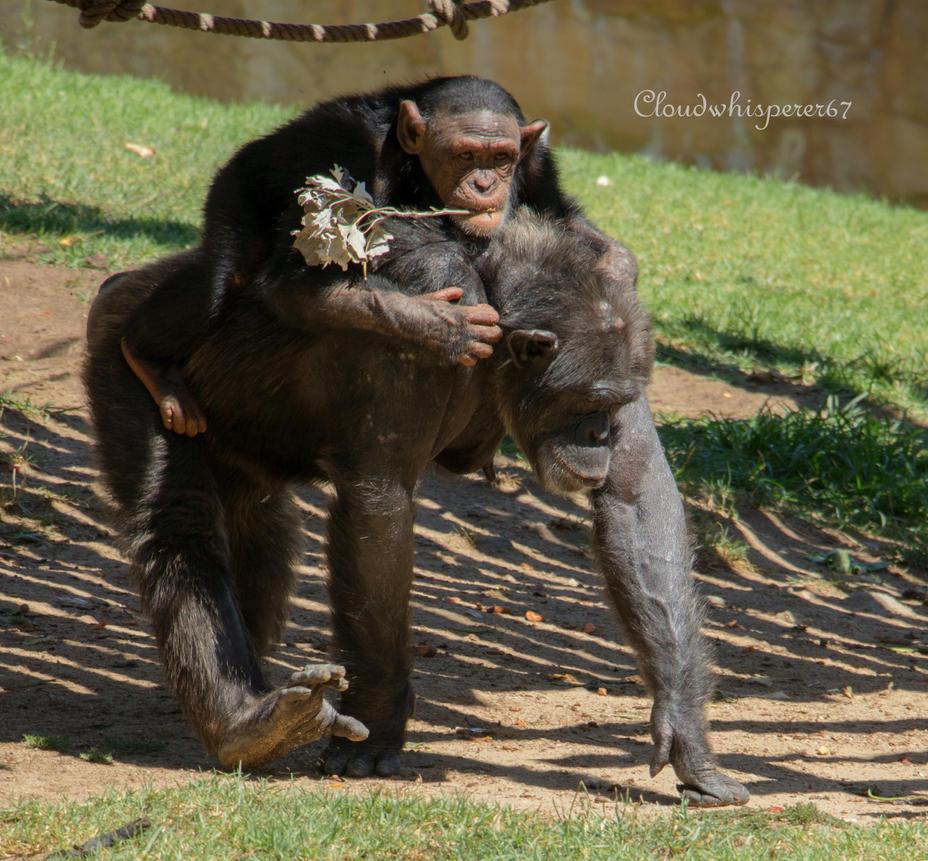 Lisbon Zoo - Playful Chimpanzees by Cloudwhisperer67