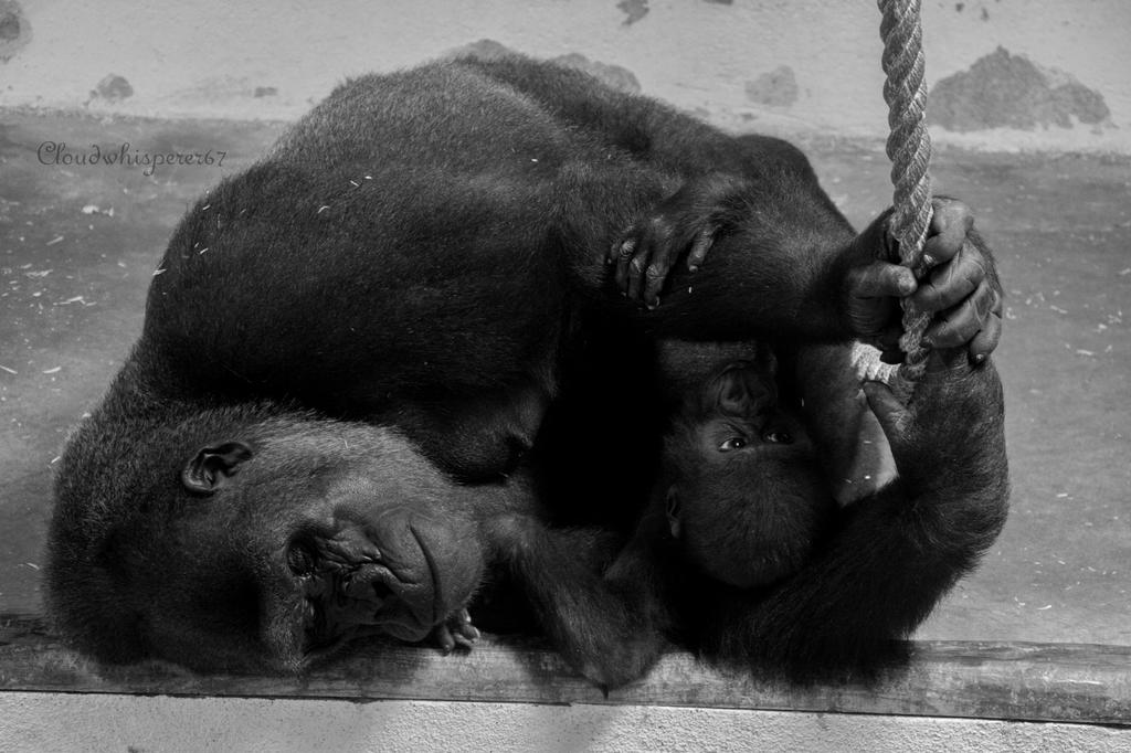 Lisbon Zoo - Dreaming Gorilla embracing her Baby by Cloudwhisperer67
