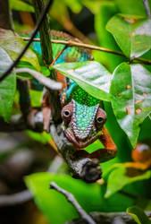 A proud chameleon in Tiergarten - Berlin Zoo