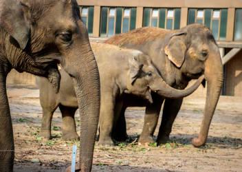 A Joyful Elephant Family - Berlin Zoo
