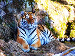 Tiger Photo3