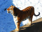 Tiger Photo5