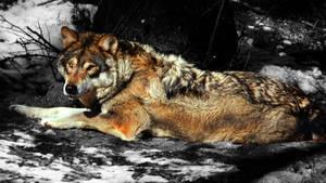 Wolf stock