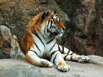 Tiger47