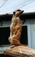 Meerkat2 by TheMysticWolf