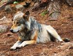WolfStock7