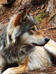 WolfStock8