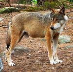 WolfStock9