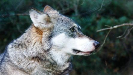 wolfstock21 by TheMysticWolf
