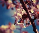Sakura Dreaming