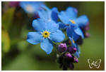 forget me not by kyokosphotos