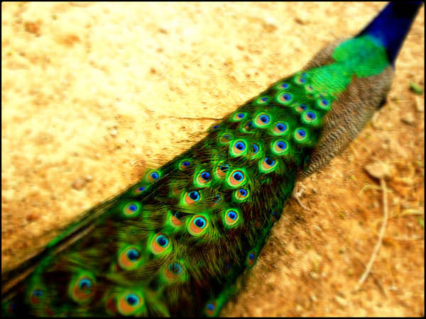 Peacock feathers by TheSkyEtc