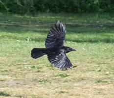 Crow 6 by TimeWizardStock