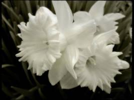 first daffodills 2010 by duckpondevans