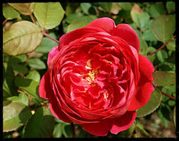 another english rose by duckpondevans