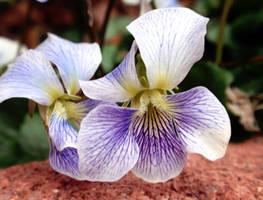 wild violets by duckpondevans