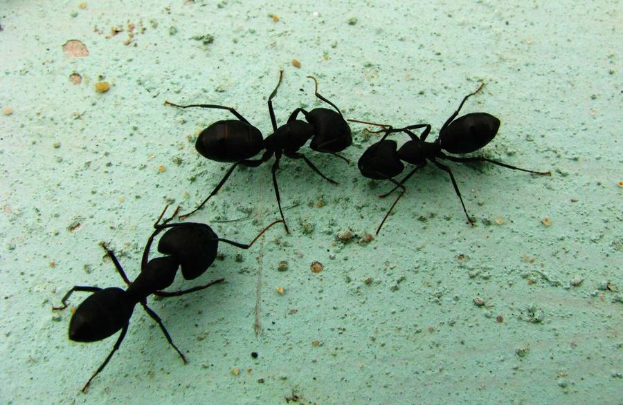 ants by Moonydancer-Antaraa