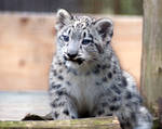 Snow Leopard Cubs by aworldofpossibilitie