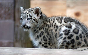 Snow Leopard Cub 2 by aworldofpossibilitie