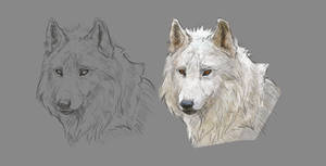 Wolf face and basic colouring