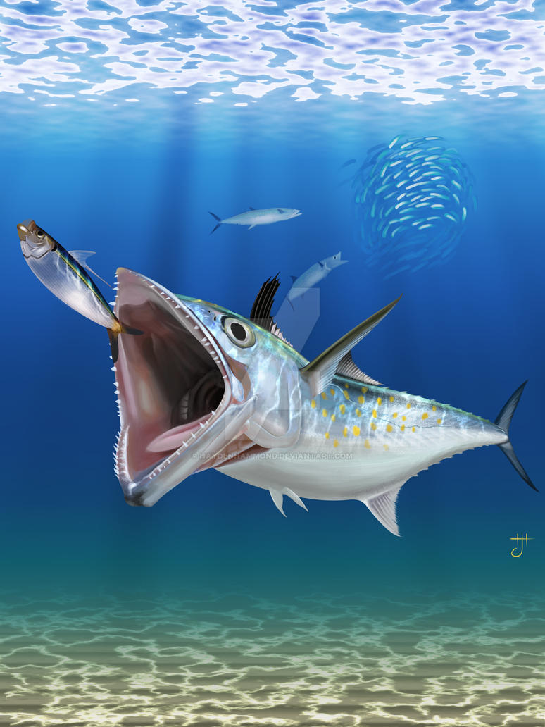 Spanish mackerel by haydenhammond on deviantart for Spanish mackerel fish
