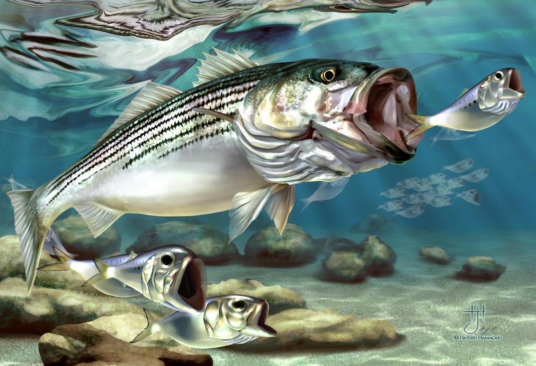 Striper true monster of montauk by haydenhammond on for Bass pro shops monster fish