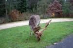Powis Deer