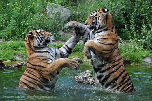 Siberian Tiger (003) - Tiger Dance