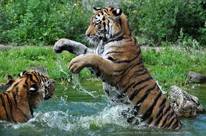 Siberian Tiger (004) - tigresses