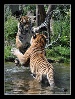 Siberian Tiger (011) - Playing with Daddy