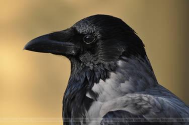 Crow (002) - observer