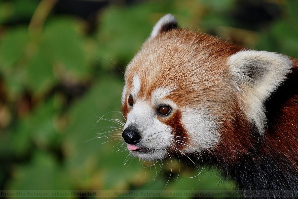 Red Panda (002) by Sikaris
