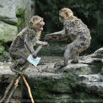 Barbary Macaques (001)