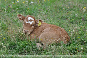 Cattle (002) - calf by Sikaris