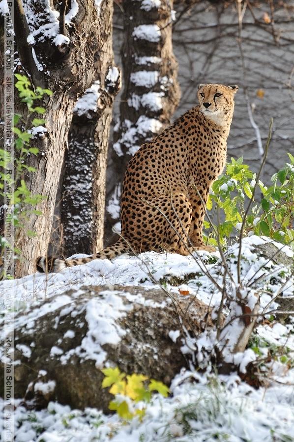 Cheetah (006) - winter by Sikaris