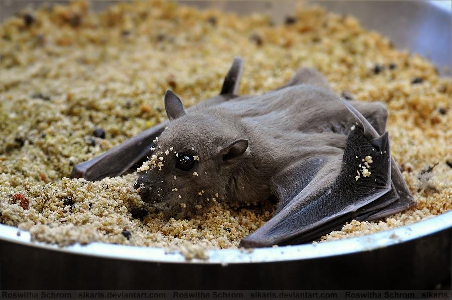 Bat (003) - Egyptian fruit bat by Sikaris