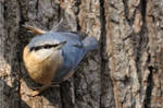 Nuthatch (010) - Cute Nuthatch