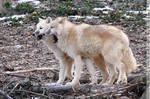 Arctic Wolf (002)