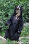 Spectacled Bear (001)