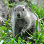 Black-tailed Prairie Dog (002)