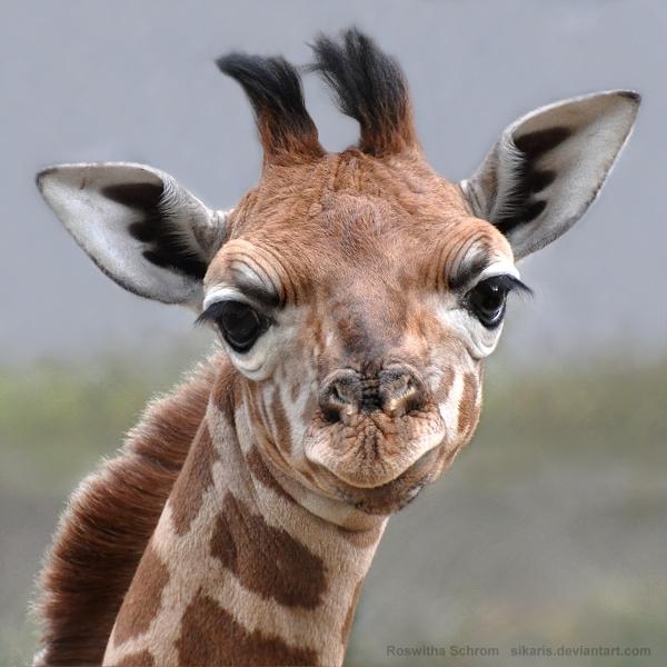 Giraffe (001) - Arusha by Sikaris